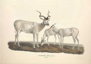 ANTILOPE Addax - addax also known as the white antelope and the screwhorn antelope